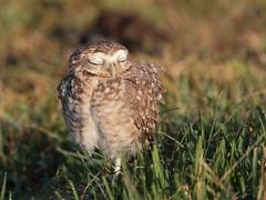 Coruja-buraqueira / Burrowing Owl / Athene cunicularia (Molina, 1782) (Alessandra/BR) Tags: corujaburaqueira burrowingowl athenecunicularia owl coruja ave