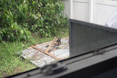 Sheddie in the Mess (robert_rex_jackson) Tags: cat sunshine raft huckleberryfinn hermine hurricane