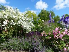 P1110081 (jrcollman) Tags: philadelphus harlowcarrgarden plants nepeta pplant rplant rosebrothercadfael delphinium rose