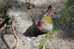 Red-Browed Finches (georg_dieter) Tags: finch finches redbrowedfinches australia queensland rainforest bird