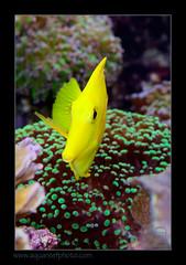 FRANflavescens1212_160612 (kactusficus) Tags: marine reef aquarium francis surgeonfish acantturidae tang chirurgien zebrasoma flavescens yellow jaune
