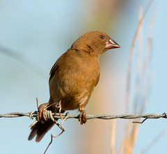 Crimson Finch at Buffalo Creek_8840 (Jen Crowley Photography) Tags: finch crimson crimsonfinch bird northernterritory nikon nt australia buffalocreek