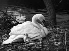 Hatchling on the Mosel River Bank (1mpl) Tags: olympusomdem1 travelphotography germany moselriver swans bw monochrome niksilverefexpro