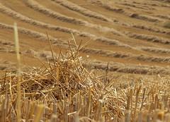 - abgeerntet - (HORB-52) Tags: berndsontheimer badenwrttemberg blackforest landwirtschaft getreide acker