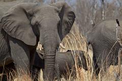 Little & Large (Hector16) Tags: africa zimbabwe littlemakalolocamp 2015 safari linkwashaconcession makaloloconcession hwange matabelelandnorth zw ngc