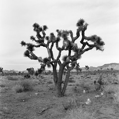 Joshua Tree National Park (Thomasaurus) Tags: joshuatree california hasseblad film