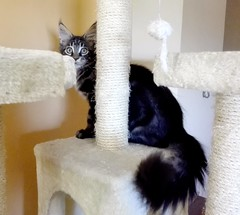 kitten Maine Coon in the scratchingpost (romeosilverpersian) Tags: mainecooncat mainecoon coonie coonies kitten kittens tabby scratchingpost