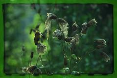 nikon_d90_nikkor_18_105_vr_21.08.16_01 (malemonada) Tags: forest wood green summer outdoor latesummer depthoffield thistle plant