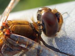 Eyes (eijun.ohta) Tags: dragonfly トンボ 蜻蛉 eye 目 compoundeyes 複眼