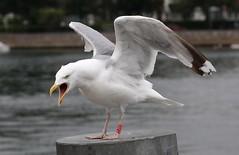 poser (dr.larsbergmann) Tags: bird seagull gull nature eos birds flickr canon explored