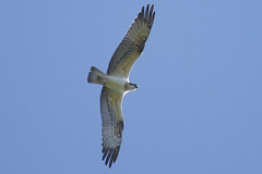 Osprey (Kentish Plumber) Tags: osprey boughbeech pandionhaliaetus kwt nature wildlife nbw countryside reservoir kent weald england europe southeast uk raptor birdofprey flying august 2016 d610 nikon nokkor 20005000mmf56 kentwildlifetrust bird tagged
