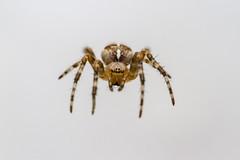 Levitating lovely! (The Mad Macrographer) Tags: araneusdiadematus portrait spider macro arachnid canon7d canonef100mmf28lmacroisusm outdoors peterborough uk nightphotography garden