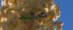 Prayerful (harefoot1066) Tags: asparagaceae nolinoideae dasylirion dasylirionwheeleri desertsppon sotol mantodea mantid mantis mantidae stagmomantis stagmomantislimbata prayingmantis