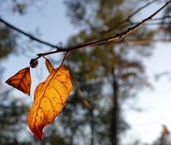 Afscheid van de zomer, de herfst is in het land/Farewell to summer, autumn has begun (truus1949) Tags: wandelen bladeren bomen bossen natuur herfst