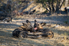 Chitabe-22 (Photography by Brian Lauer) Tags: botswana chitabe wild dog dogs wildlife wilderness nikon nikonphotography explore more elephant elephants saddlebilledstork lions lion landscape african zebra lilacbreastedroller lediba wearewilderness safaris