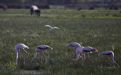 Flamingo Feed (Osama Ali Photography) Tags: birds bird flamenco flamingo reflections marsh green verde fauna beauty spain espaa canon       water nature natural natura naturaleza