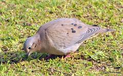 DSC_0234 (rachidH) Tags: birds oiseaux pigeon dove paloma colombe tourterelle eareddove zenaidaauriculata tourterelleoreillarde zenaida zenaidatorcazabe plazaitalia buenosaires argentina rachidh nature