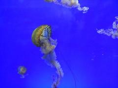Jellyfish (mzmz7) Tags: blue oneplusone oneplus chinese china shanghai tank aquarium poisonous sting tentacles jellyfish