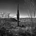 A Lone Saguaro Cactus (Black & White, Saguaro National Park)