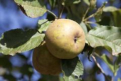 Herbst (FuenfamTag) Tags: schleswigholstein apfel herbst