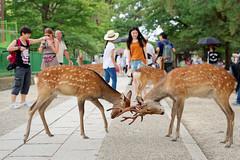 Nara (romain_castellani) Tags: tamron2470mmf28 nikon d750 dxoopticspro dxofilmpack nara japan japon deer shika daim animal animaux people personnes rue street t summer