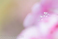 Attraction. (Velmerc) Tags: floral flora abstract dreamy soft atmospheric stamens pink macro