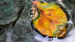 St Ives (Mark Dickens) Tags: stives autumn leaf water barbarahepworth sculpturegarden