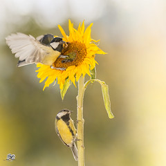 sunflower visiters (Geert Weggen) Tags: nature animal red perennial closeup cute plant funny happy summer bright light branch yellow bird tit titmouse food sunflower flower sweden geert weggen jmtland ragunda