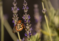 garden-acraea (slivvtheshiv) Tags: lavender flower butterfly garden acraea spring insect nature wings antennae