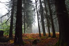 DSC_3653 Herbstwald Perspektive - Autumn Forest Perspective (baerli08ww) Tags: deutschland germany rheinlandpfalz rhinelandpalatinate westerwald westerforest wald forest herbst autumn herbstfarben autumncolors nebel mist baum tree natur nikon