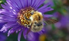 flower hug (Simple_Sight) Tags: carderbee ackerhummel bumblebee hummel insect garden flower aster outdoors garten ngc npc