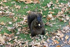DSC04365_v1 (2) (talbot_dominique) Tags: cureuil noir animal nature sonya6300
