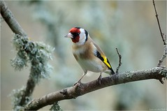 Chardonneret lgant (www.speleophoto.fr) Tags: nature oiseaux cureuil chardonneret fauconplerin sittelle tarin
