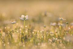 Parnassia palustris (Marcel`Westland) Tags: grass parnassus marsh parnassie sumpfherzblatt parnassiaceae nikon d90 tokina100mmf28atxprod tokina 100mm 2016 dof details dutch duinen field flower flora