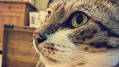 手機拍貓眼 (何神) Tags: 貓 咖啡 眼 毛 手機 攝影 鬍鬚 lumia 鼻子 cat