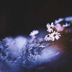 (snegiri.bird) Tags: flora flowers bokeh summer macro