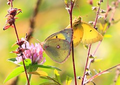 clouded sulphur male & female at Clear Creek WMA IA 854A5397 (lreis_naturalist) Tags: clouded sulphur butterfly male female red clover flower clear creek wildlife management area allamakee county iowa larry reis