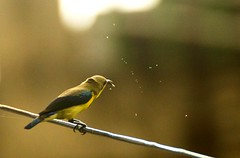 Sunbird in action (Abhranil Neogi) Tags: nikond3200 tamron70300mm sunbird bird