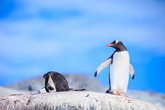 Antarctica-111124-914 (Kelly Cheng) Tags: antarcticpeninsula antarctica gentoopenguin pleneaubay pleneauisland animals bird blue color colorful colour colourful copyspace day daylight fauna horizontal nature outdoor penguins sunny sunshine tourism travel traveldestinations white
