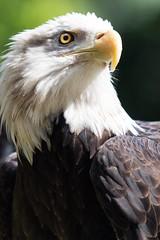 Bald Eagle Portrait (Alden Lim) Tags: bald eagle singapore bird birds raptor raptors eagles portrait