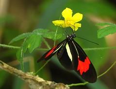 Heliconius erato phyllis (Helio Lourencini) Tags: heliconiuseratophyllis butterfly animal aoarlivre macro inseto borboleta coresvivas worldbest explore flor planta paudalho pernambuco wild wildlife selvagem forest floresta mataatlantica