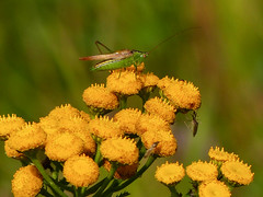 Katydid on Common Tansy (annkelliott) Tags: calgary alberta canada fishcreekpark burnsmead stormwaterponds nature insect katydid tettigoniidae perched plant flora flower flowers wildflower tansy commontansy tanacetumvulgare weed noxious buttonlike denseflattoppedclusters yellow macro closeup bokeh outdoor summer 31august2016 fz200 fz2004 annkelliott anneelliott