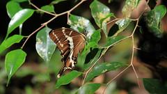 Swallowtail - Papilio delalandei (Female) (jaytee27) Tags: papiliodelalandei madagascar naturethroughthelens