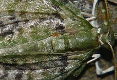 Xtra long leg Orange mite on a snout moth Airlie Beach rainforest P1110950 (Steve & Alison1) Tags: long leg orange mite snout moth airlie beach rainforest extra