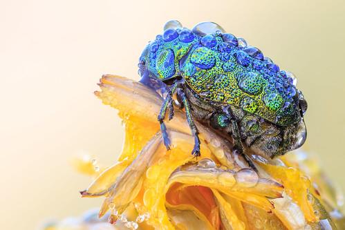 Male Fallbeetle