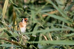 chardonneret lgant (  Carduelis carduelis ) Erdeven 161008e2 (pap alain) Tags: oiseaux passereaux fringillids chardonneretlgant cardueliscarduelis europeangoldfinch erdeven morbihan bretagne france