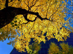Looking up to Fall (rowjimmy76) Tags: fall autumn leaves trees color oregon pnw downtown urban city nature portland pdx pacificnorthwest october landscape cityscape outdoors iphone6 cameraphone