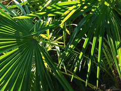 Palms, All Fingers But No Thumbs (Alan FEO2) Tags: palm fronds leaves sharp fingers knives vegetation flora plants green sun sunlight 116picturesin2016 88 greenfingered outdoors apple iphone 5s 2oef