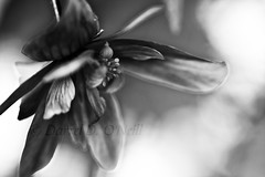 Beguiling Begonia 19 (LongInt57) Tags: begonia flower blossom bloom petals stamens pollen macro bw monochrome black white grey gray nature garden kelowna bc canada okanagan