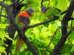 well its spring time what do you think about starting a family? (jeaniephelan) Tags: birds rainbowlorikeets lorikeets